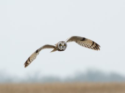Texas Owl Species and Where to Find Them