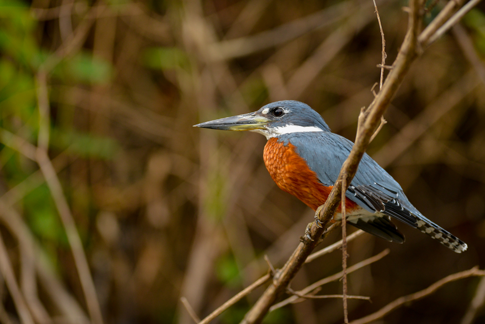 18 South Texas Specialty Birds & How to See Them