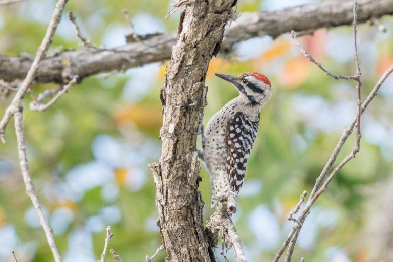 Texas Woodpecker - Ladder-backed Woodpecker