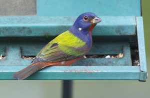 How to Attract Painted Buntings to your Yard