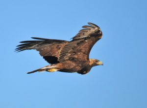 The 3 Best Places to Find a Golden Eagle in Texas