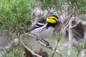 The Best Places to See a Golden-cheeked Warbler in Austin