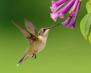 The Best Plants for Attracting Hummingbirds in Texas