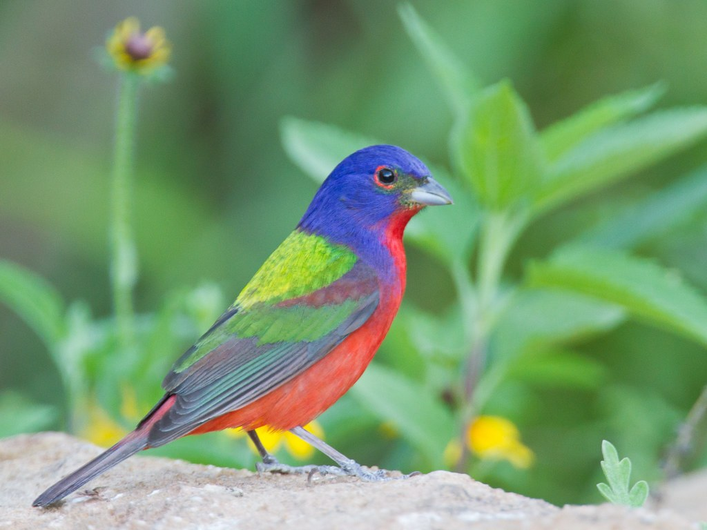 Where to See a Painted Bunting in Texas