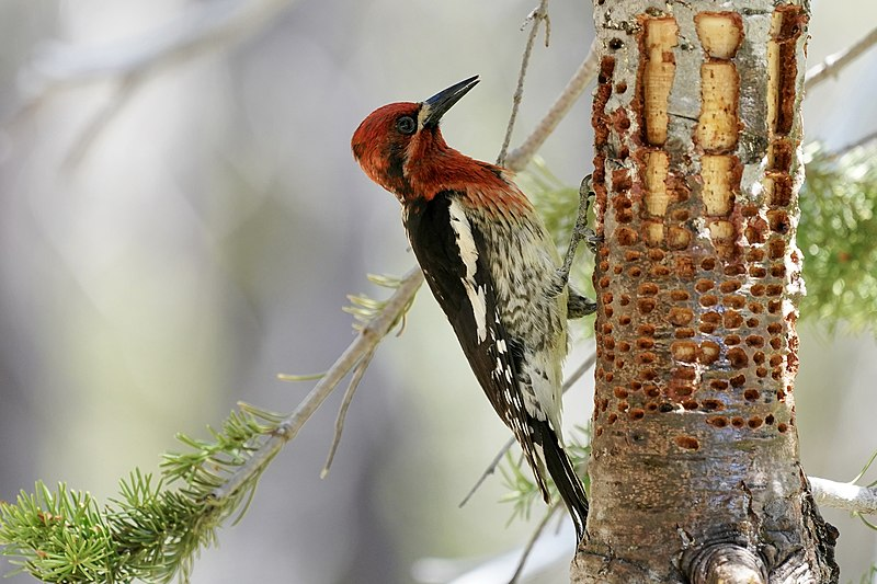 Red_Breasted Sapsucker