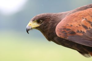 Texas Hawks and How to Tell Them Apart