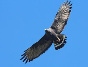 How To See a Zone-tailed Hawk in Texas