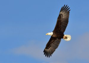 Where to See Bald Eagles in Texas