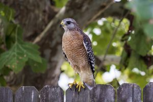 Hawks Common to Central Texas