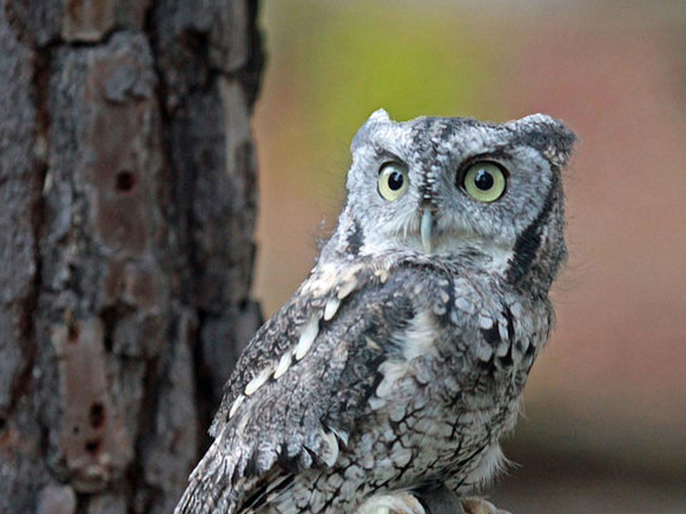 What Owls Live in the Central Texas Hill Country?