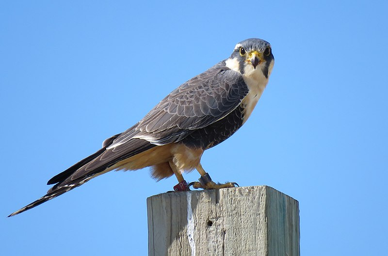 Texas Falcons and How to Tell Them Apart