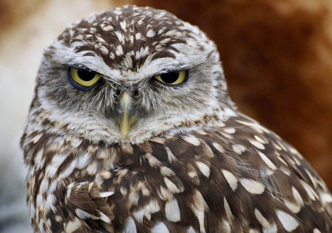 Where to See Burrowing Owls in Texas