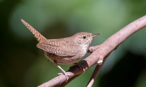 Texas Wrens & How to Tell Them Apart (with photos)
